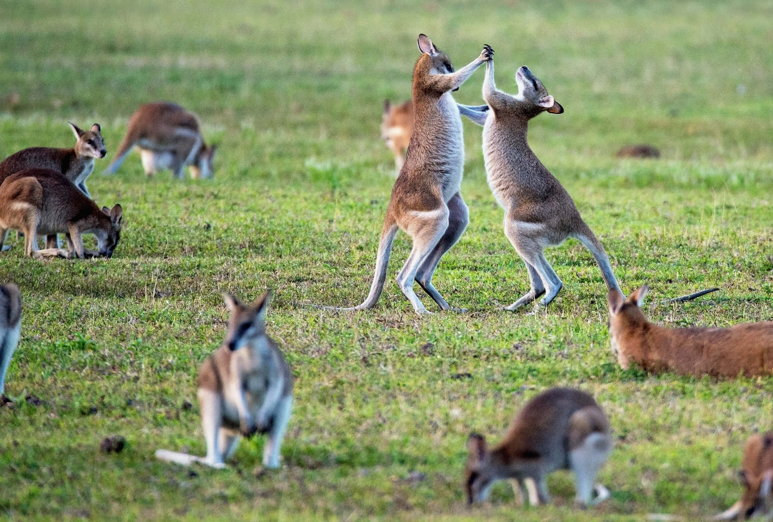 Kangaroos on an open field