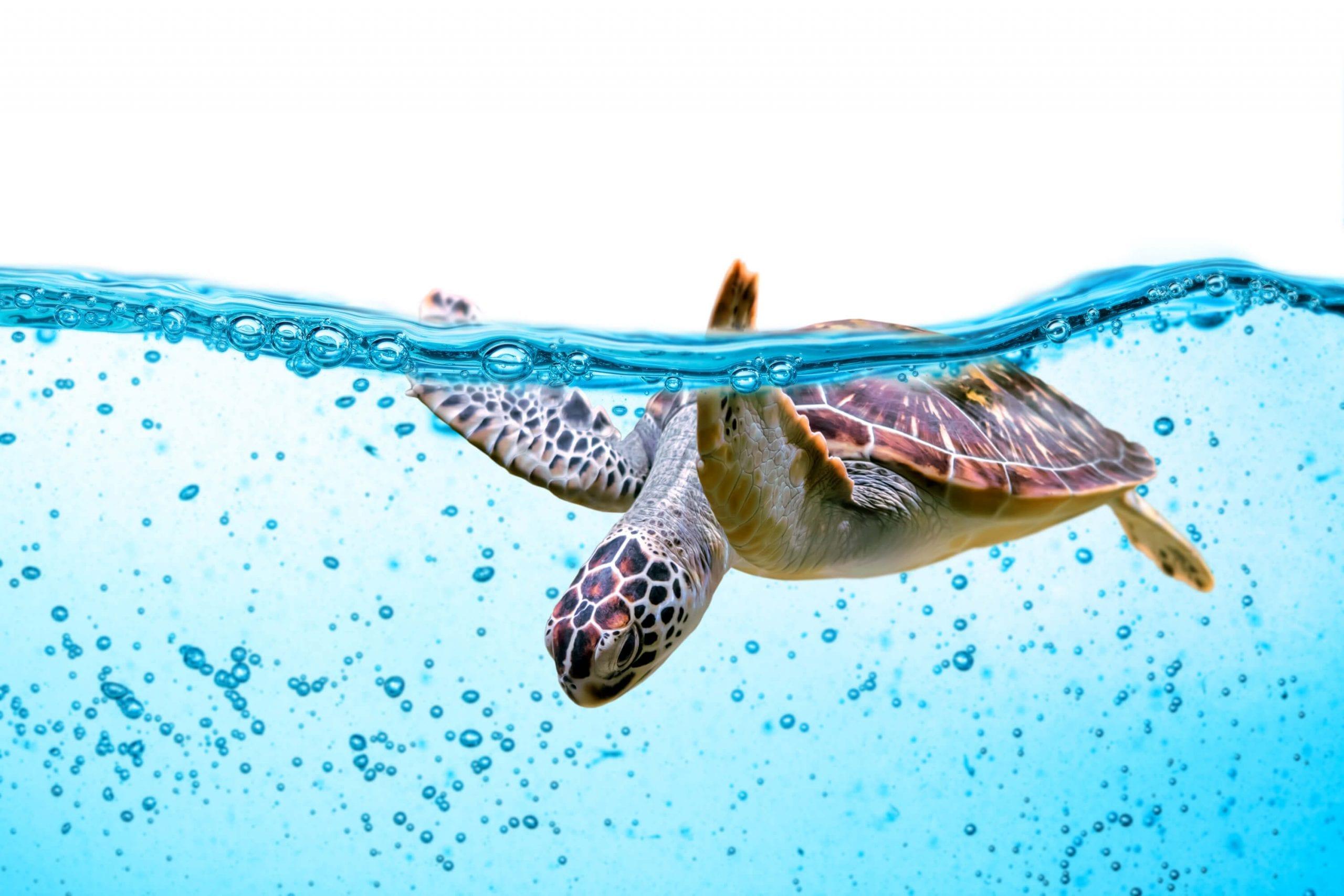 Turtle Sea Ocean